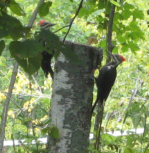 2012_august_19_pair_of_pileated_woodpeckers_on_property_taken_by_guests_20120820_2085508030