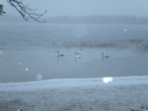 2012_november_visiting_swans_in_the_beach_20121125_1430022321